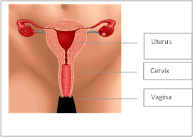Picture showing female reproductive organs